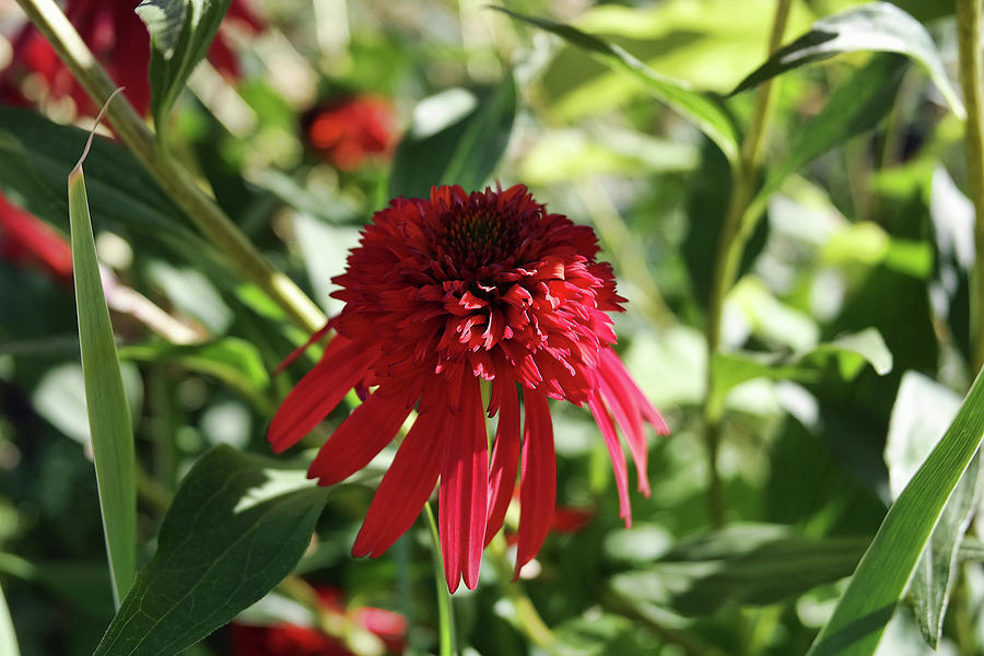 Red Double Echinacea Photograph