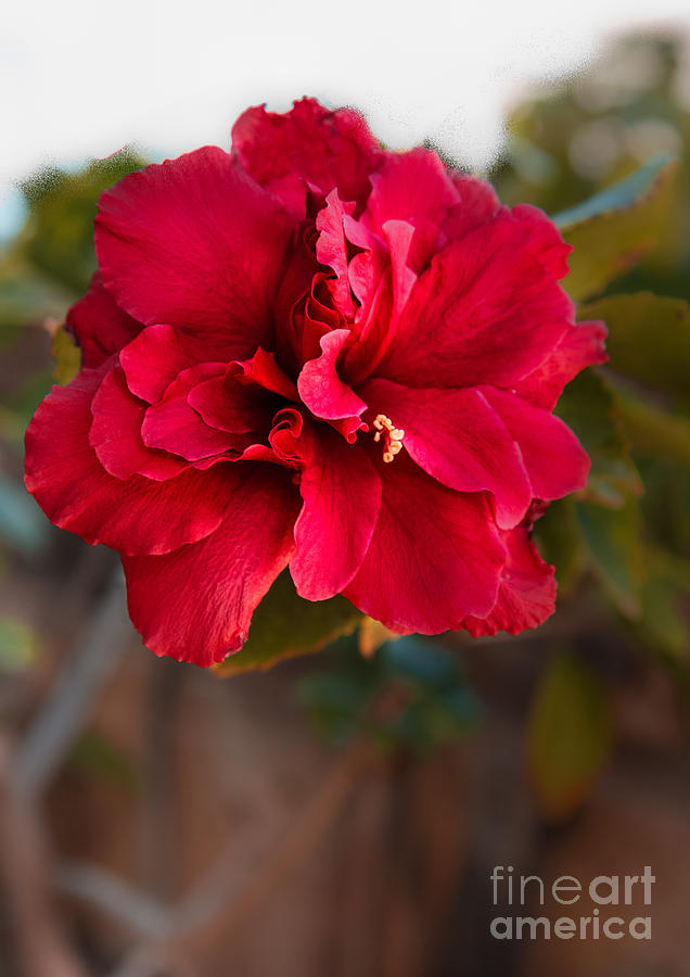 Red Double Hibiscus Photograph By Robert Bales