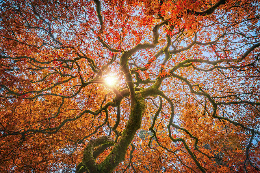 Sunlight Photograph - Red Dragon Japanese Maple In Autumn Colors by William Freebilly photography