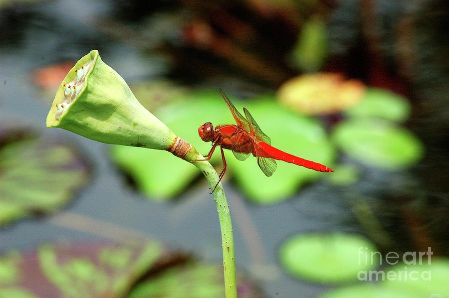 Dragon Flies Photograph - Red Dragon by Robert Anschutz