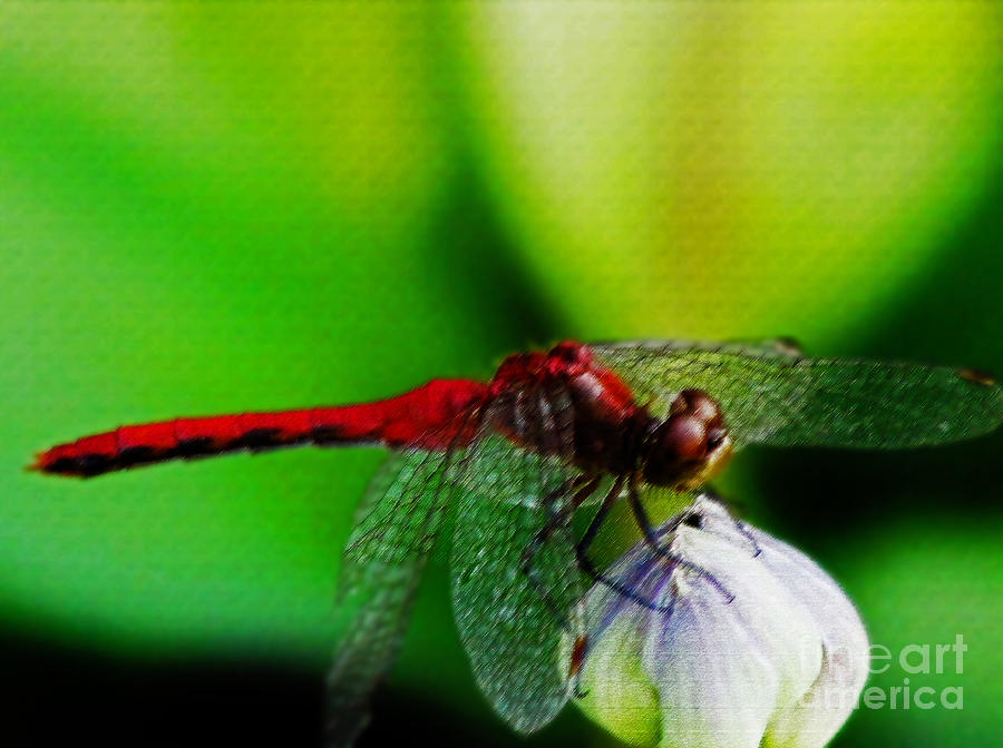 Red Dragonfly 3 Pastel