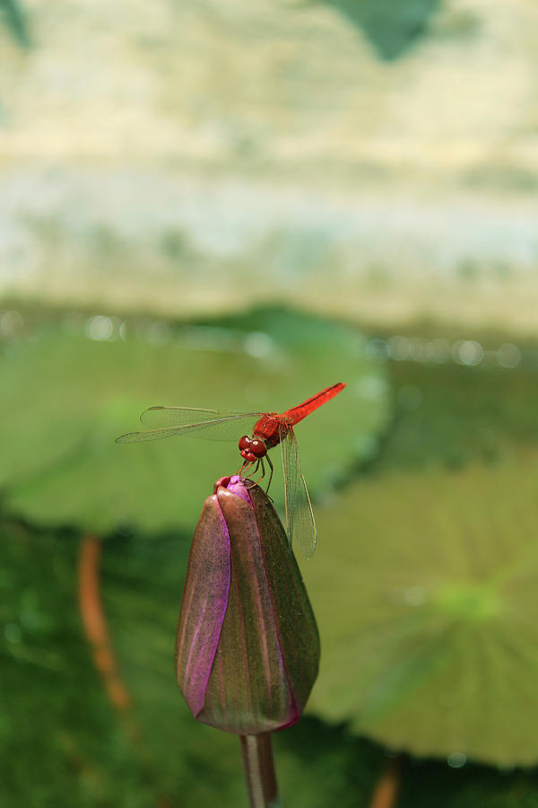 Red Dragonfly at Lady Buddha by Samantha Delory