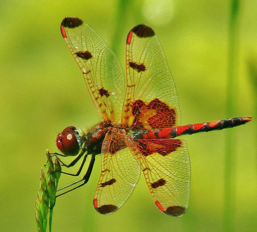 Red Dragonfly Photograph by Thomas  McGuire