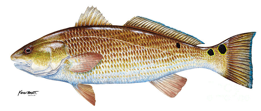 Red Drum Painting - Red Drum  Redfish by Kevin Brant