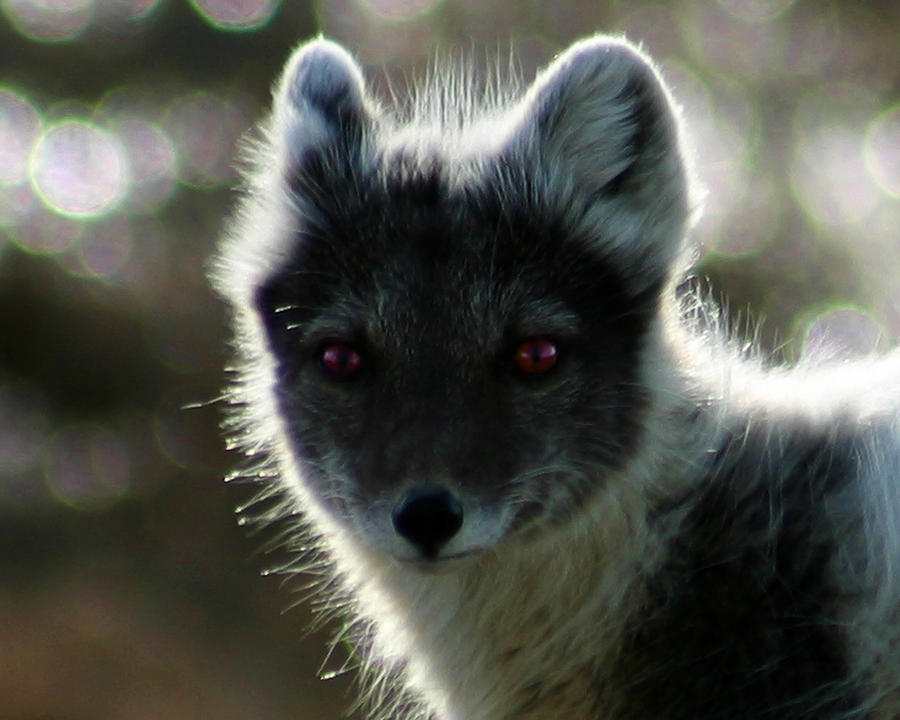 Arctic Fox Photograph - Red Eyes by Anthony Jones