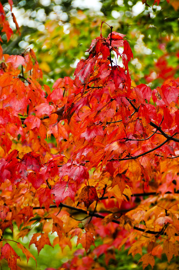 Vermont Photograph - Red Fall Leaves by Don and Bonnie Fink