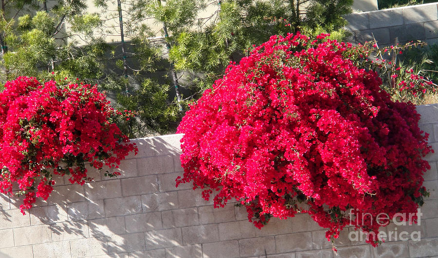 Bush Photograph - Red Flower Bushes by Sofia Metal Queen
