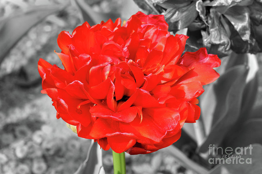 Red Photograph - Red Flower by E B Schmidt