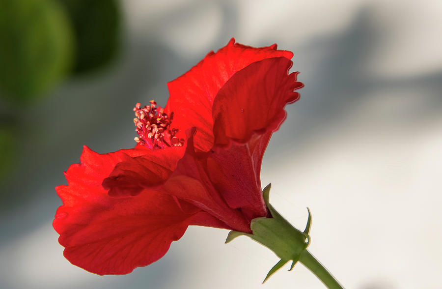 Red Photograph - Red Flower  by Manjot Singh Sachdeva