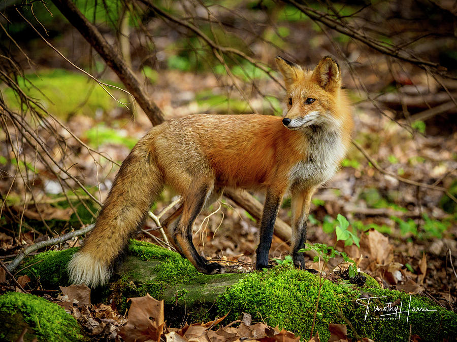 Red Fox #2 by Timothy Harris