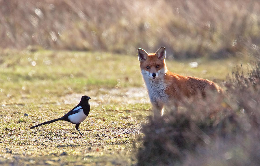 Magpie Photograph - Red Fox And Magpie by Bob Kemp