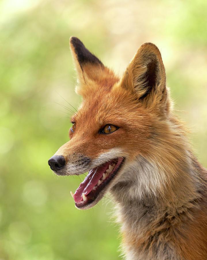 Mammals Photograph - Red Fox by Doug Herr