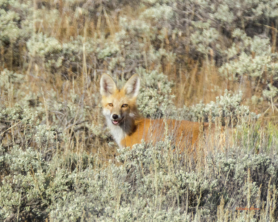 Red Fox in Sage Brush by Stephen Johnson