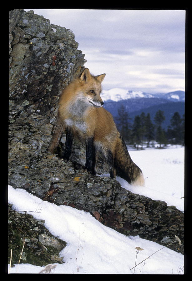 Wildlife Photograph - Red Fox In The Mountains by Larry Allan