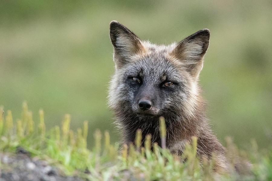 Red Fox Morph by Glenn Springer