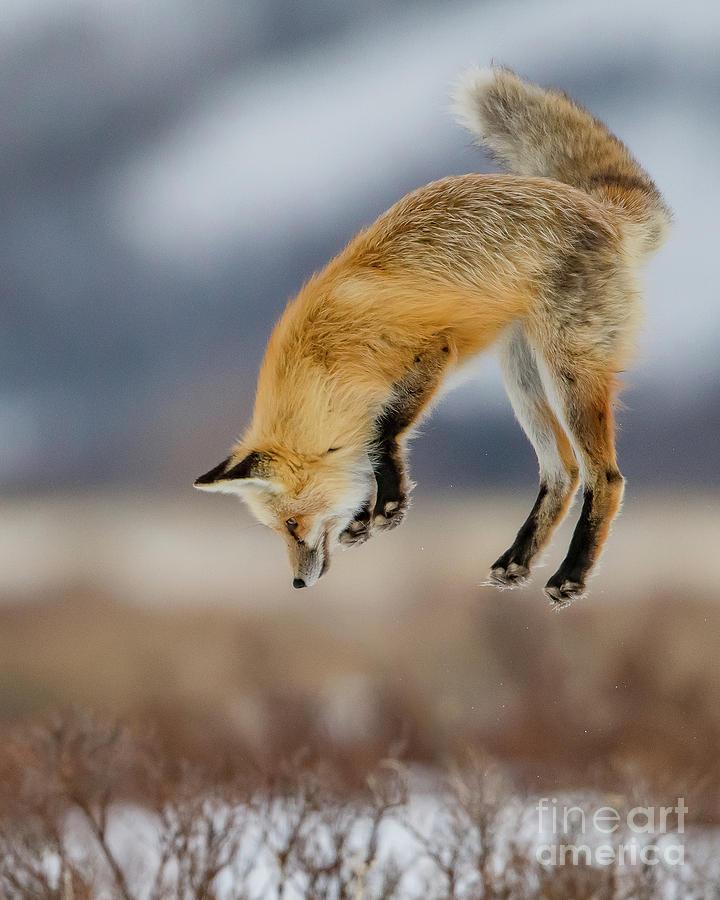 Red Fox Mousing by Brad Schwarm