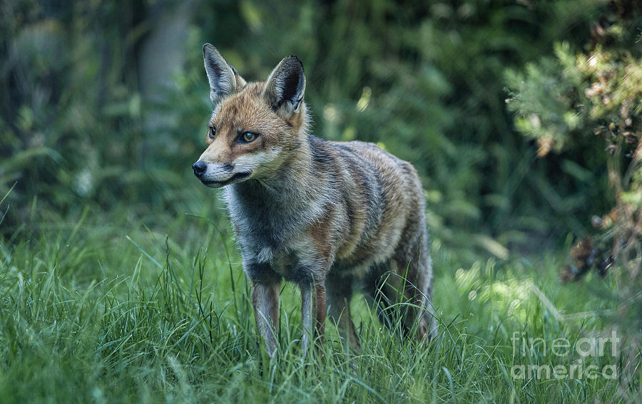 Wildlife Photograph - Red Fox by Philip Pound