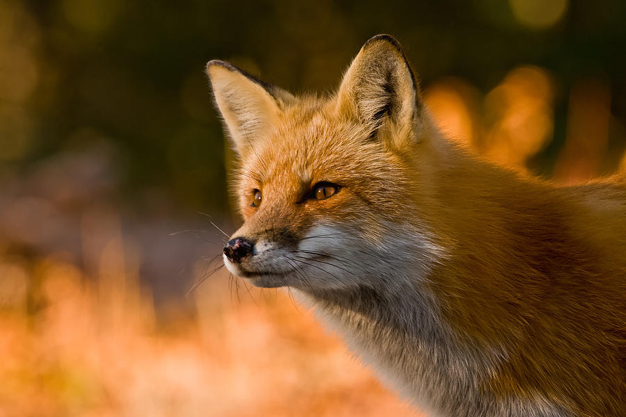 Red Fox Pictures 118 by World Wildlife Photography