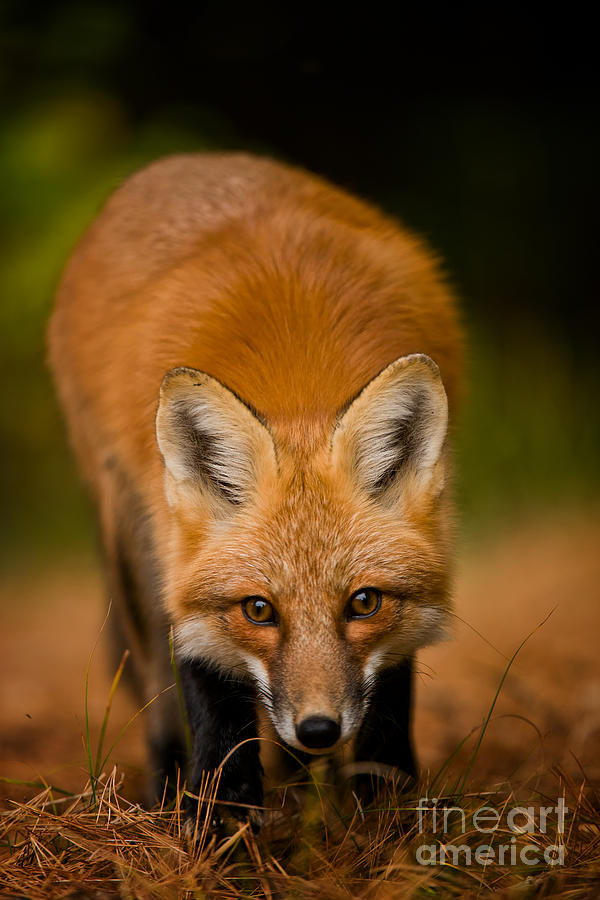 Red Fox Pictures 161 by World Wildlife Photography