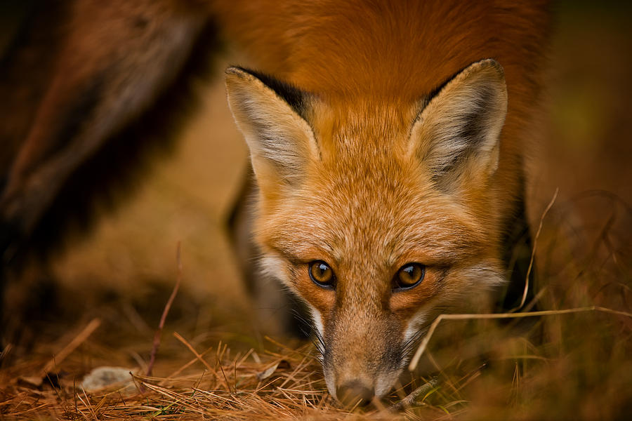 Red Fox Pictures 162 by World Wildlife Photography