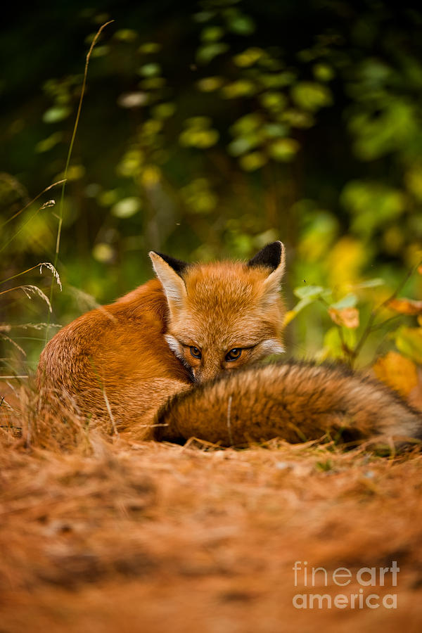 Red Fox Pictures 166 by World Wildlife Photography