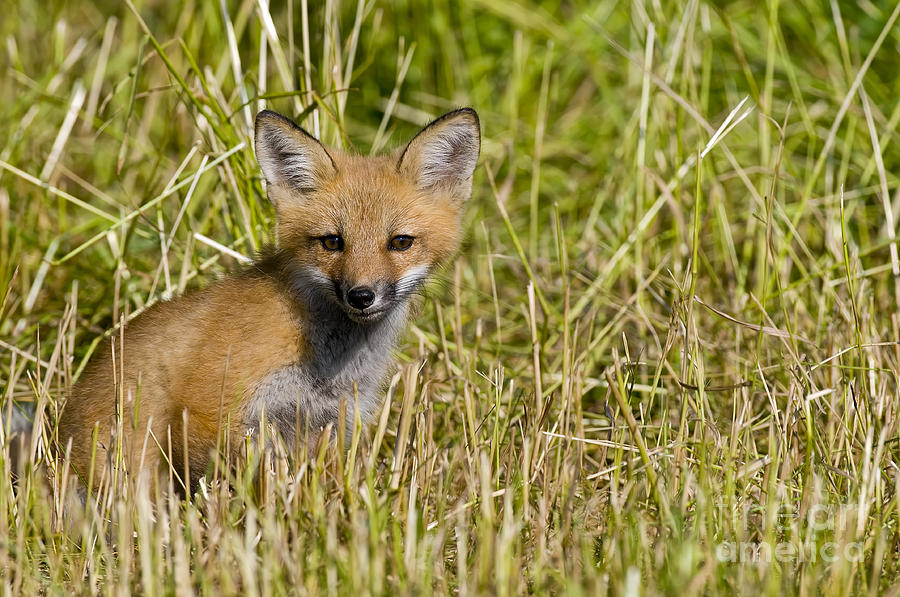 Red Fox Pictures 19 by World Wildlife Photography