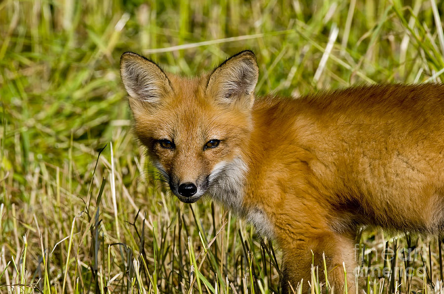 Red Fox Pictures 34 by World Wildlife Photography