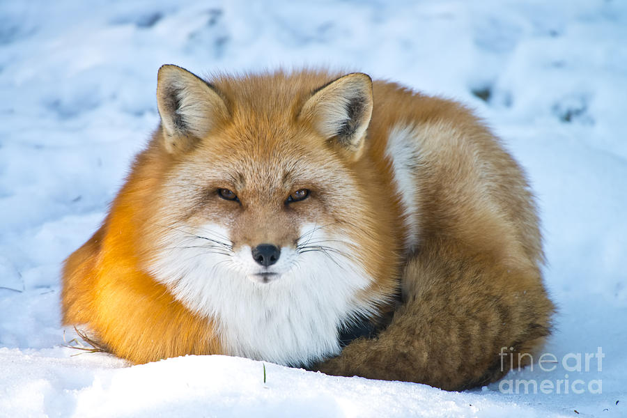 Red Fox Pictures 98 by World Wildlife Photography