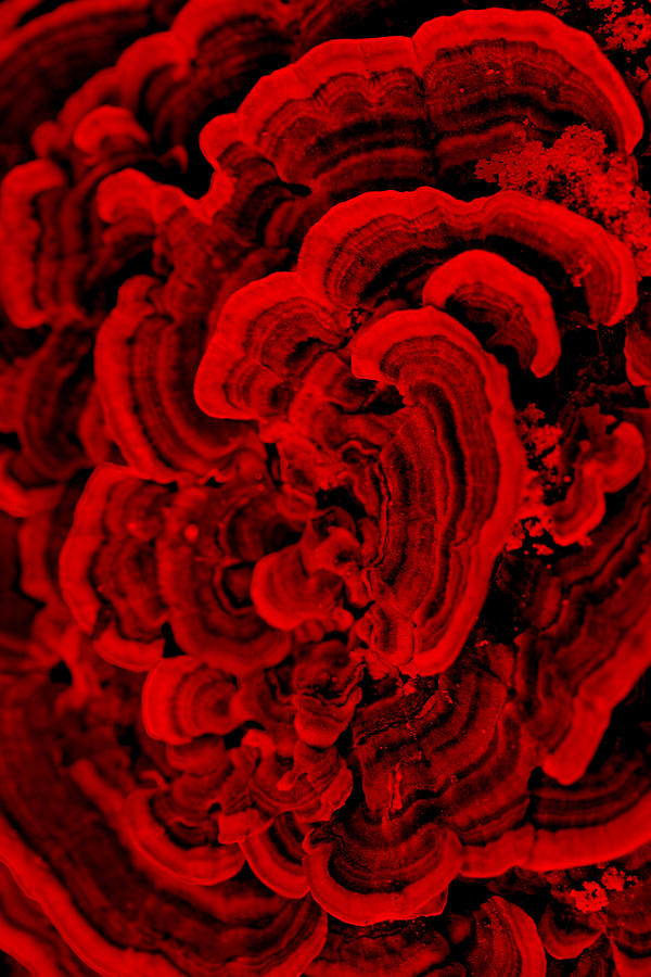 Fungi Photograph - Red Fungi by Dana  Oliver