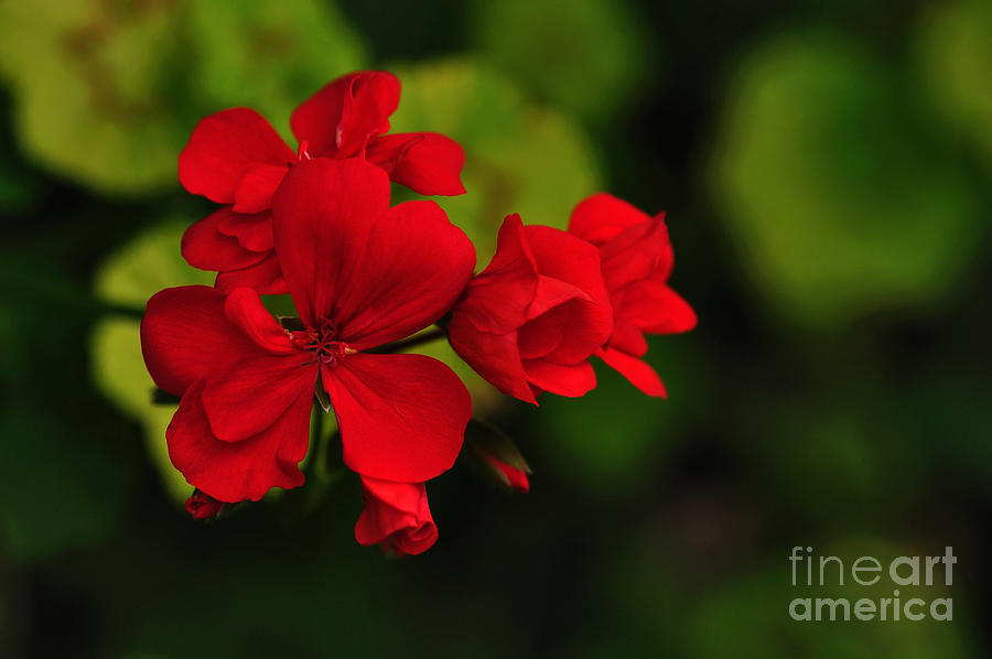 Red Geranium Photograph - Red Geranium by Kaye Menner