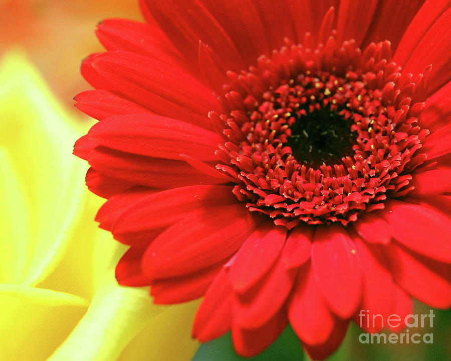 red gerber daisy flower macro shot photograph by elizabeth thomas, Natural flower