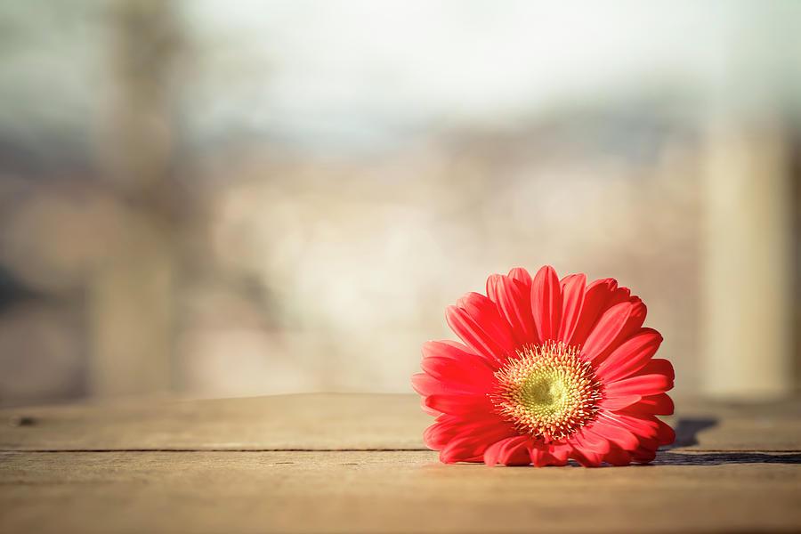 Horizontal Photograph - Red Gerbera Daisy by Daniela Romanesi
