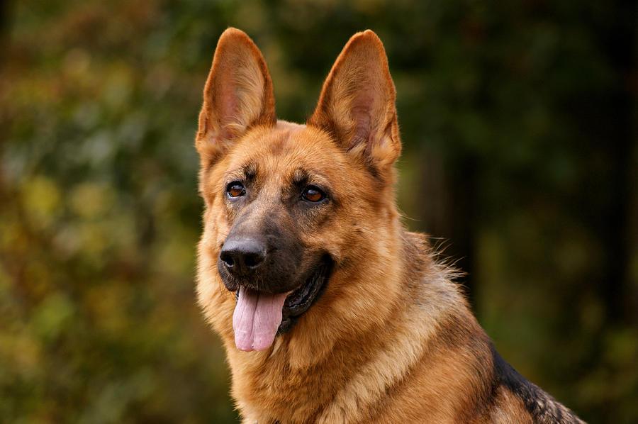 Red German Shepherd Dog Photograph By Sandy Keeton