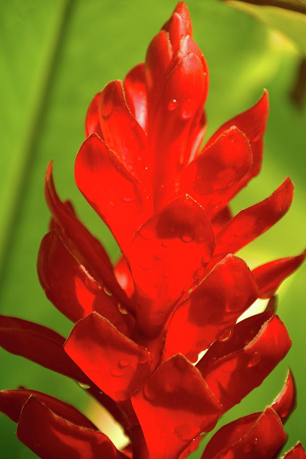 Red Ginger Bud After Rainfall by Michael Courtney