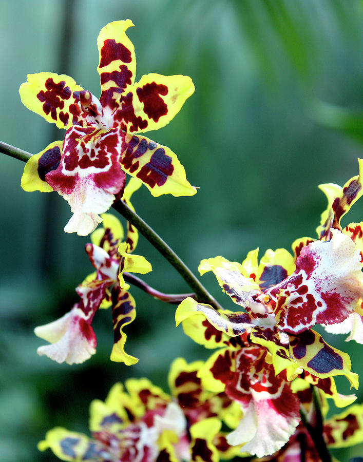 Striped Maroon and Yellow Orchid by Melinda Blackman