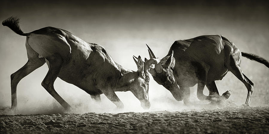 Hartebeest Photograph - Red Hartebeest Dual In Dust by Johan Swanepoel