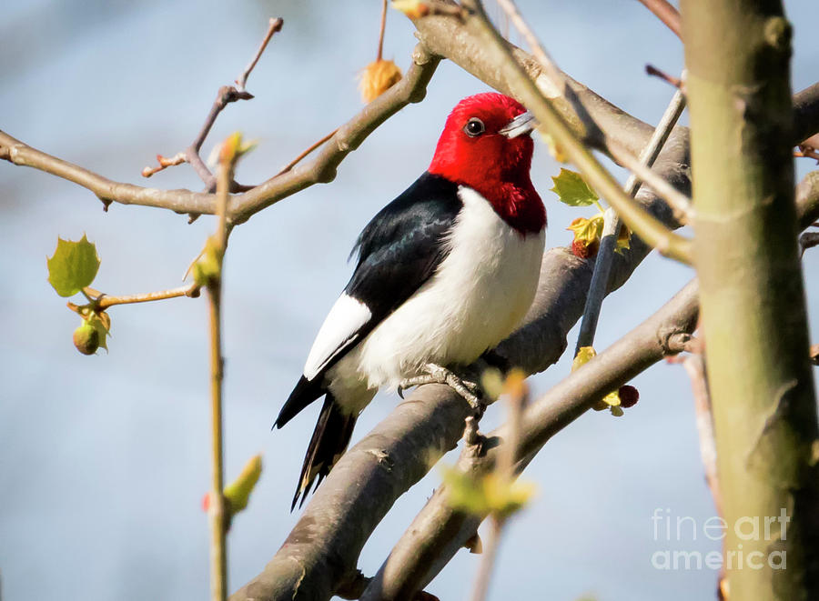 Canon Photograph - Red-headed Woodpecker At A Glace  by Ricky L Jones