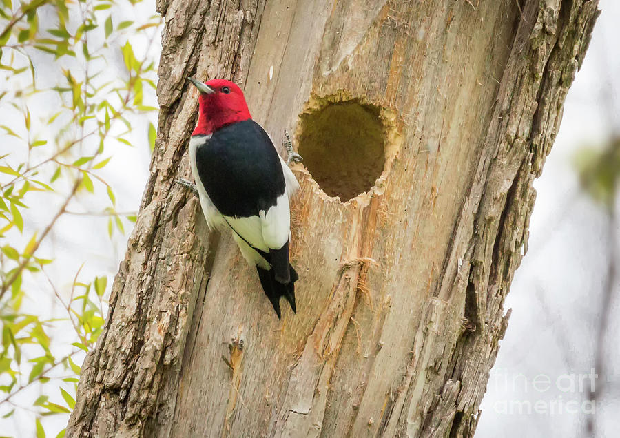 Canon Photograph - Red-headed Woodpecker At Home by Ricky L Jones