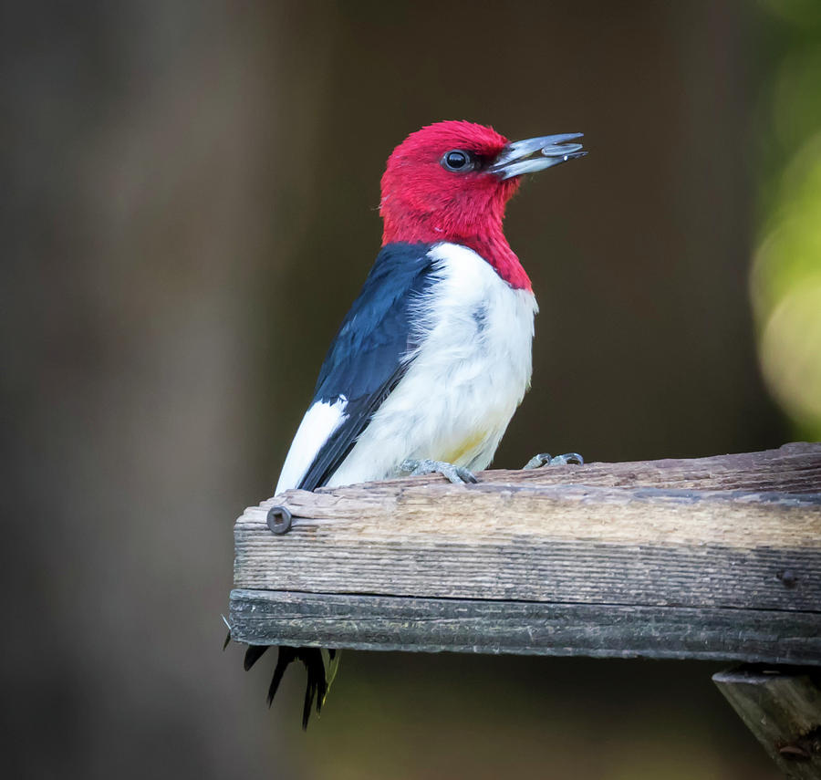 Red-headed Woodpecker with Seed  by Ricky L Jones
