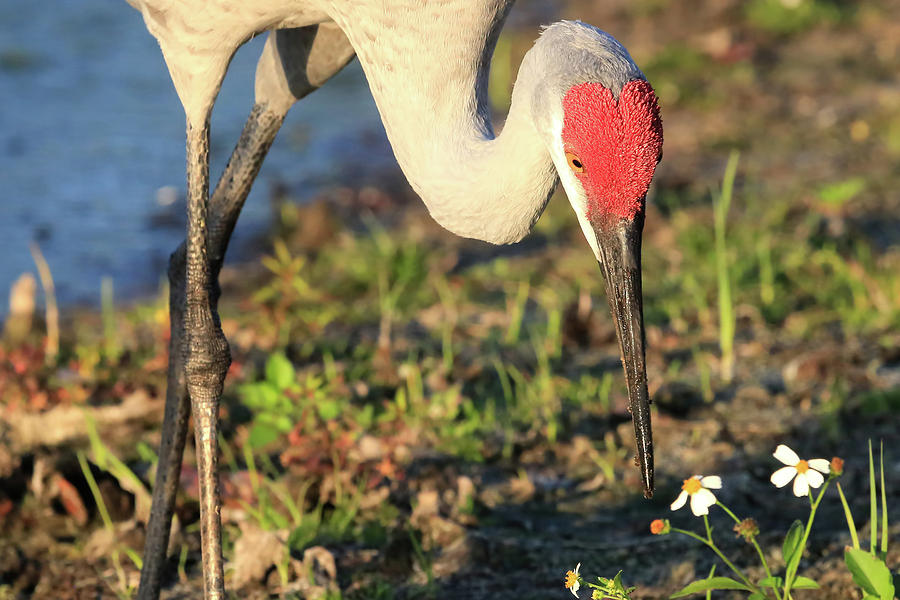Sandhill Crane Photograph - Red Heart by Donna Kennedy