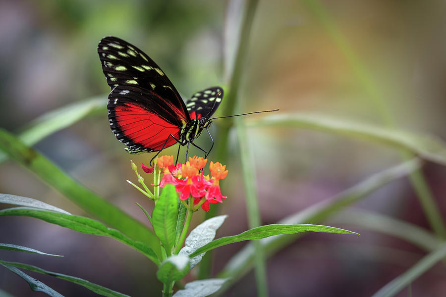 Red Heliconius Hecale Butterfly Photograph