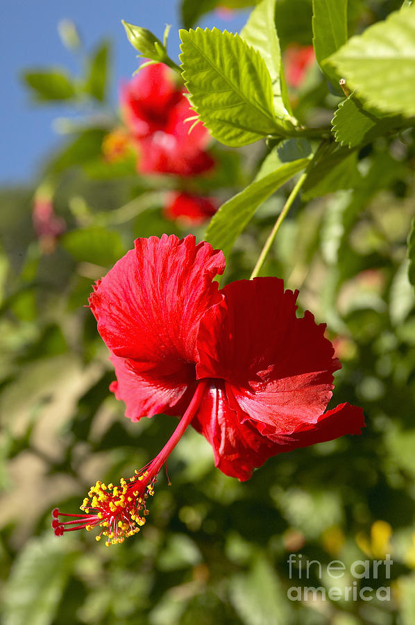 Above Photograph - Red Hibiscus by Kyle Rothenborg - Printscapes