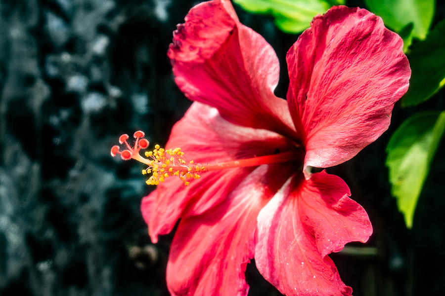 Red Hibiscus by Martin Naugher