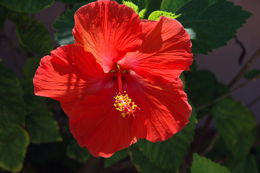 Hibiscus Photograph - Red Hibiscus by Susanne Van Hulst