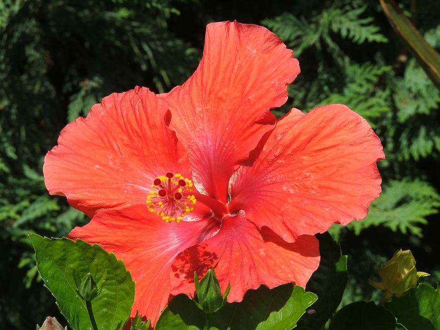Flower Photograph - Red Hibiscus by Wayne Skeen