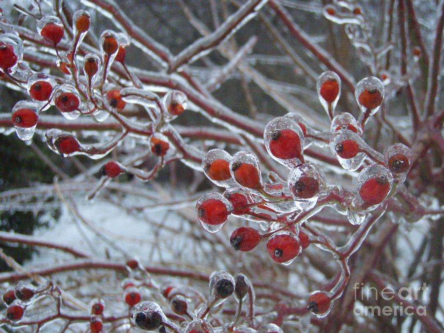 Berries Red  Ice Storm Photograph - Red Ice Berries by Kristine Nora