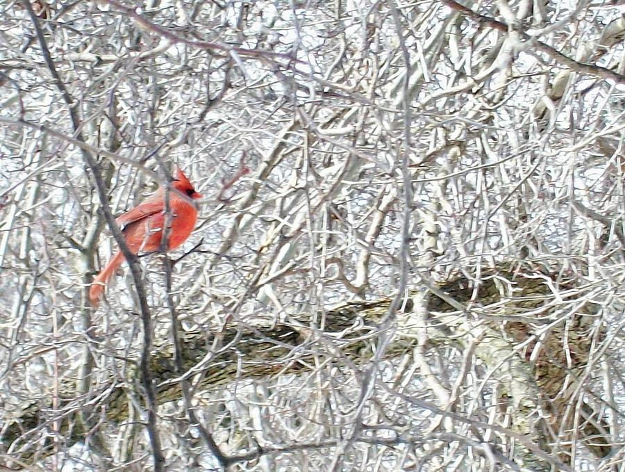 Bird Photograph - Red In White by Justin  Randy