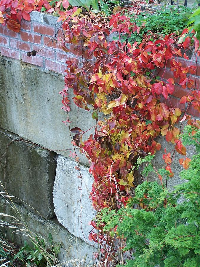 Red Leaves Photograph - Red Ivy by Gene Ritchhart