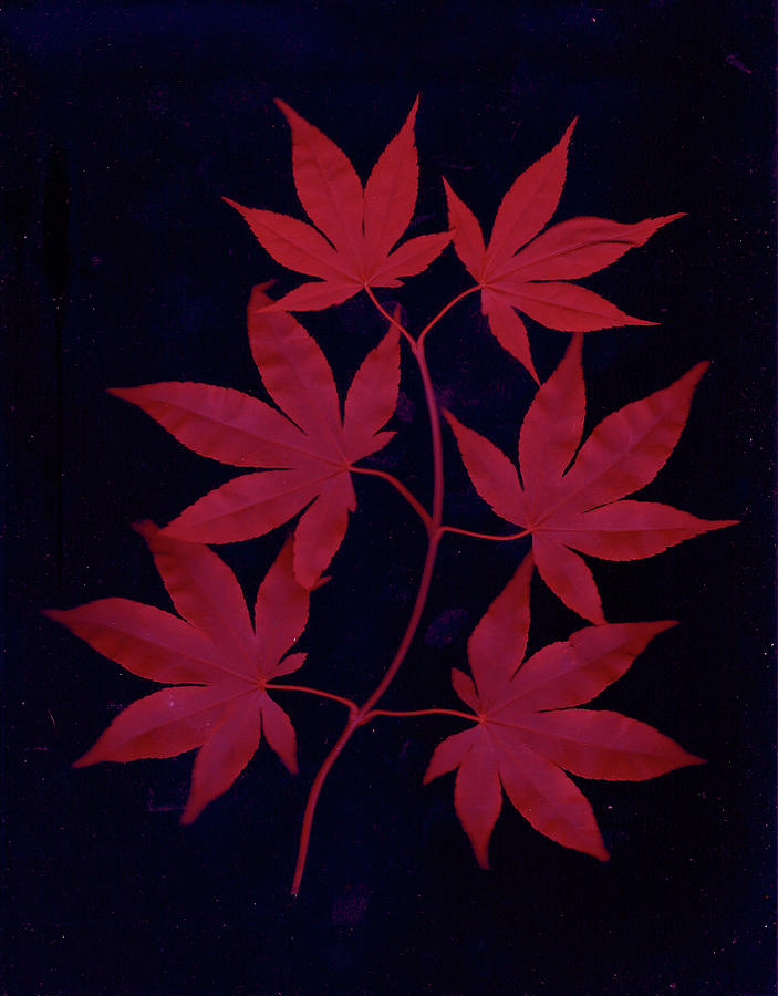 red Japanese Maple leaves  by Wayne Potrafka