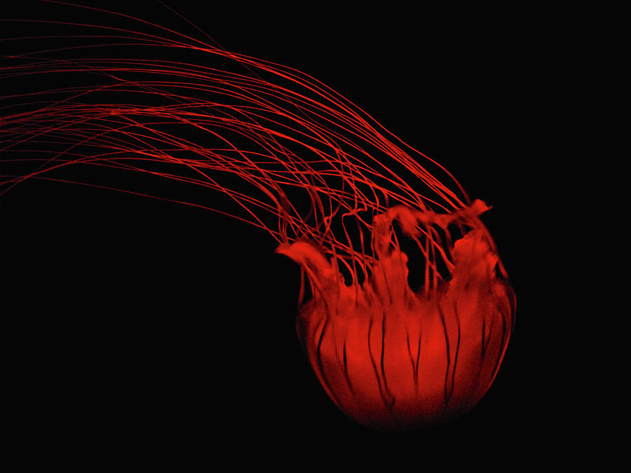 Red Photograph - Red Jellyfish by Denise Keegan Frawley